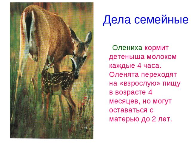 Дела семейные Олениха кормит детеныша молоком каждые 4 часа. Оленята переходя...