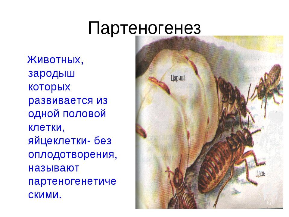 Партеногенез Животных, зародыш которых развивается из одной половой клетки, я...