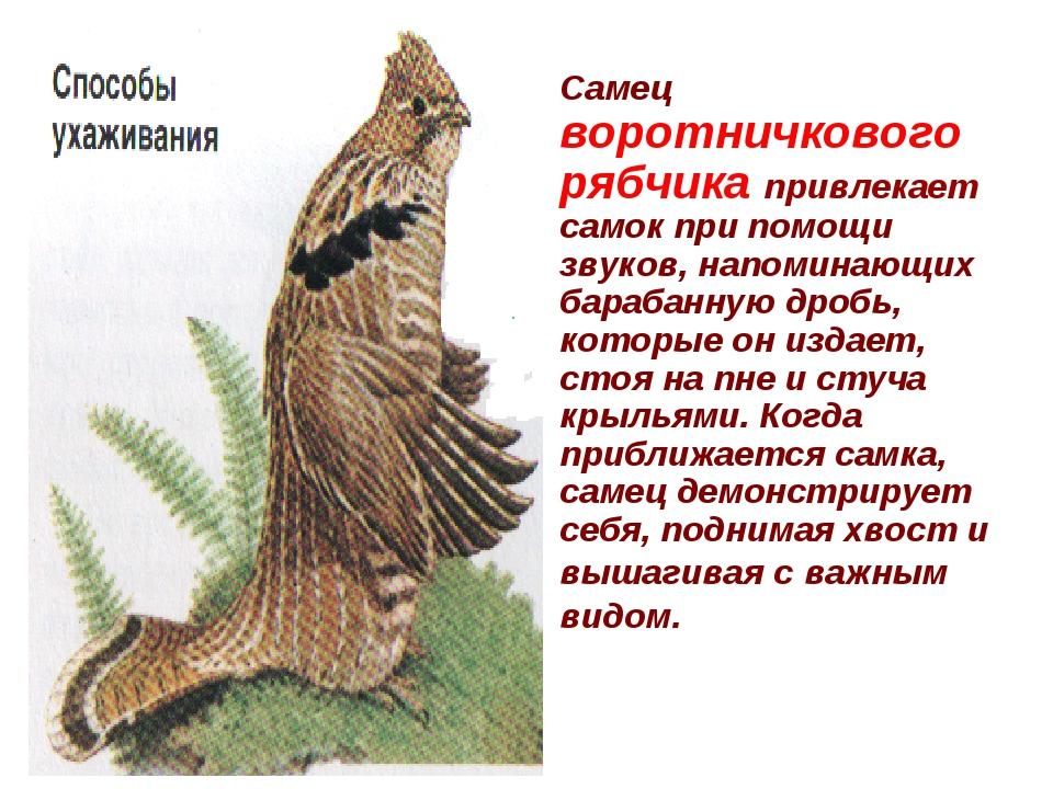 Самец воротничкового рябчика привлекает самок при помощи звуков, напоминающи...