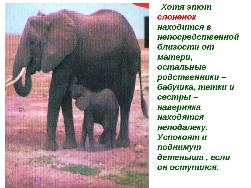 Хотя этот слоненок находится в непосредственной близости от матери, остальны...