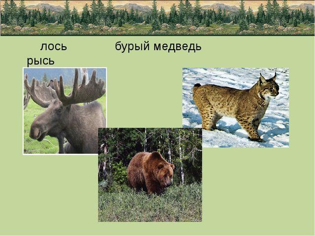 лось бурый медведь рысь