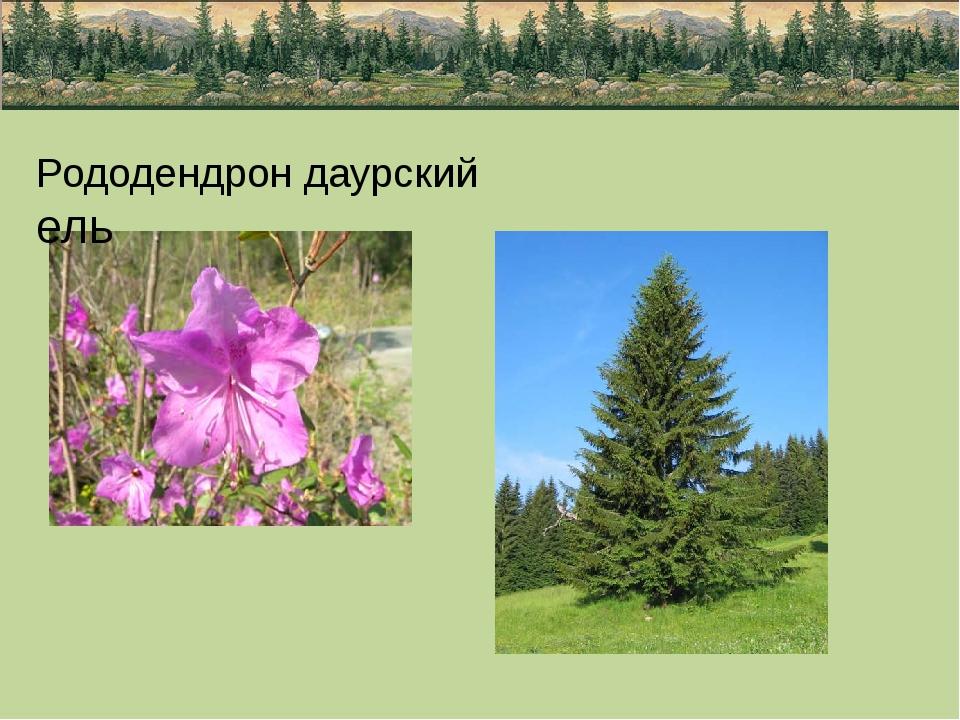 Рододендрон даурский ель