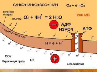 СО2 Н = е + Н О2 + 4Н = 2 Н2О + О2 200 мВ АДФ Н3РО4 АТФ + + + + + + + + + + +