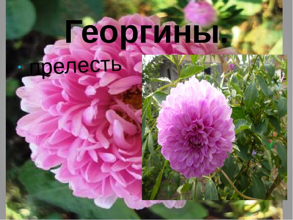 Георгины. прелесть