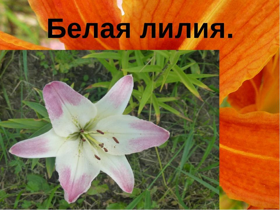 Белая лилия.