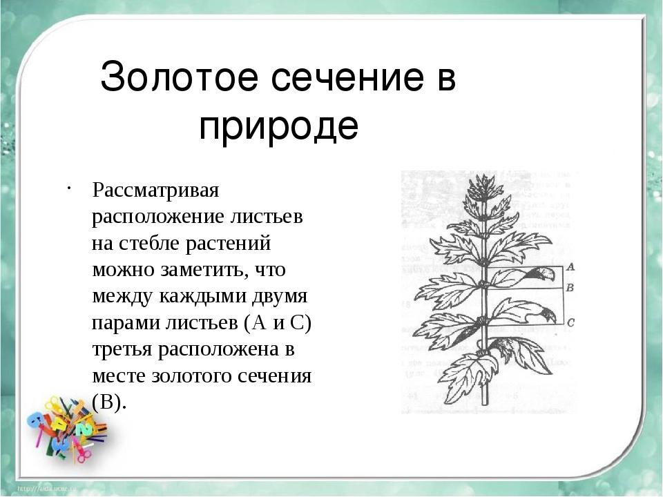 Золотое сечение в природе Рассматривая расположение листьев на стебле растени...
