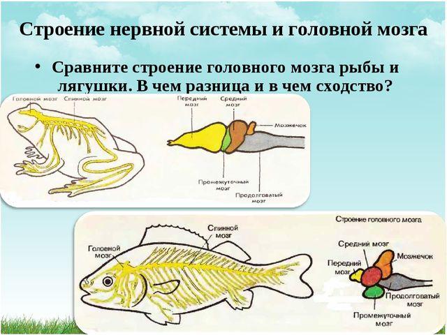 Сравните строение головного мозга рыбы и лягушки. В чем разница и в чем сходс...