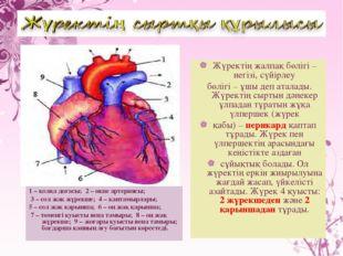 1 – қолқа доғасы; 2 – өкпе артериясы; 3 – сол жақ жүрекше; 4 – қантамырлары;