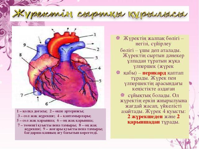 1 – қолқа доғасы; 2 – өкпе артериясы; 3 – сол жақ жүрекше; 4 – қантамырлары;...