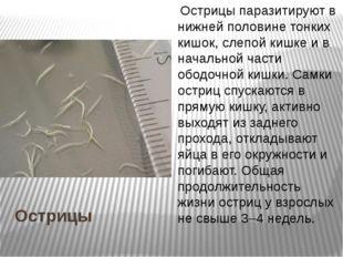 Острицы Острицы паразитируют в нижней половине тонких кишок, слепой кишке и