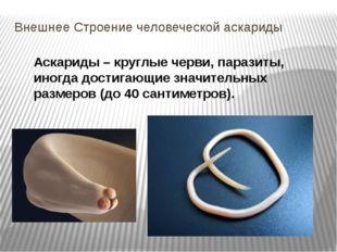 Внешнее Строение человеческой аскариды Аскариды – круглые черви, паразиты, ин
