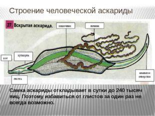 Строение человеческой аскариды Самка аскариды откладывает в сутки до 240 тыся
