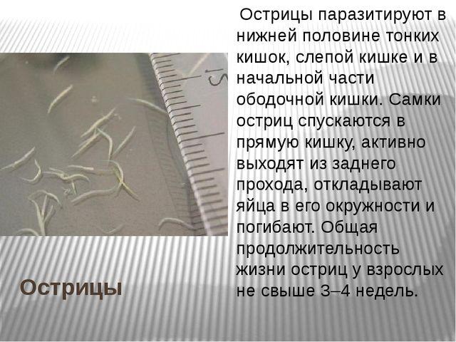 Острицы Острицы паразитируют в нижней половине тонких кишок, слепой кишке и...