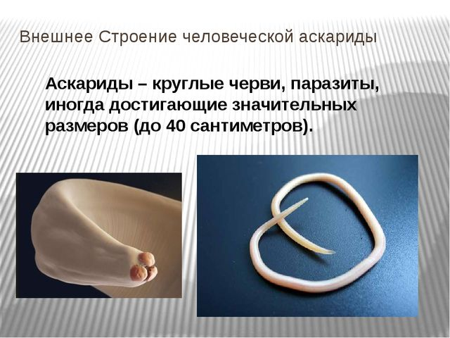 Внешнее Строение человеческой аскариды Аскариды – круглые черви, паразиты, ин...