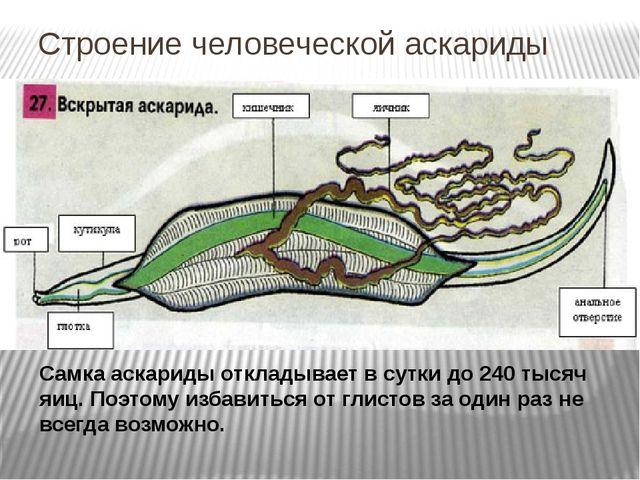 Строение человеческой аскариды Самка аскариды откладывает в сутки до 240 тыся...