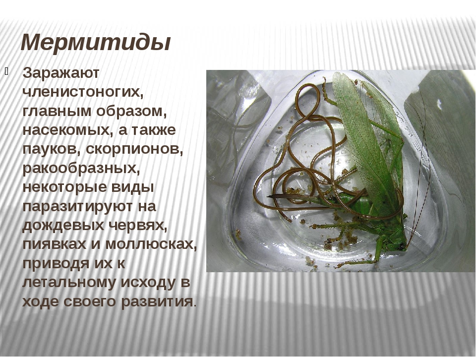 Мермитиды Заражают членистоногих, главным образом, насекомых, а также пауков,...