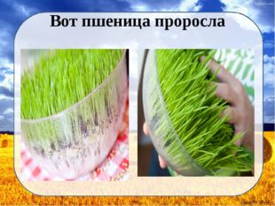 Вот пшеница проросла Дунаева Н.М.