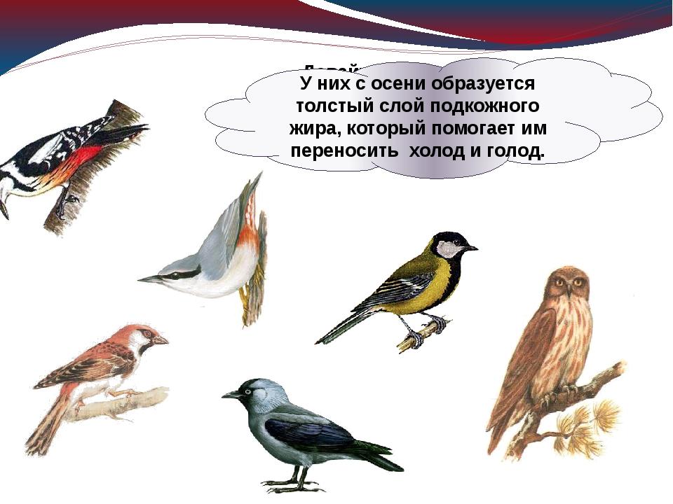 Давайте познакомимся с птицами, которые осенью никуда не улетают, зимуют в на...