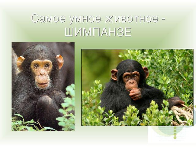Самое умное животное - ШИМПАНЗЕ
