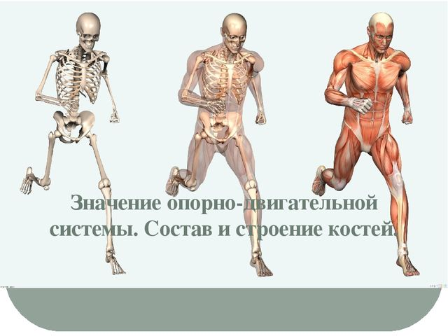 Значение опорно-двигательной системы. Состав и строение костей.