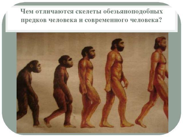 Чем отличаются скелеты обезьяноподобных предков человека и современного челов...