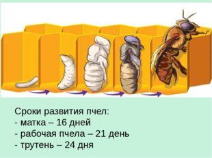 Сроки развития пчел: - матка – 16 дней - рабочая пчела – 21 день - трутень –