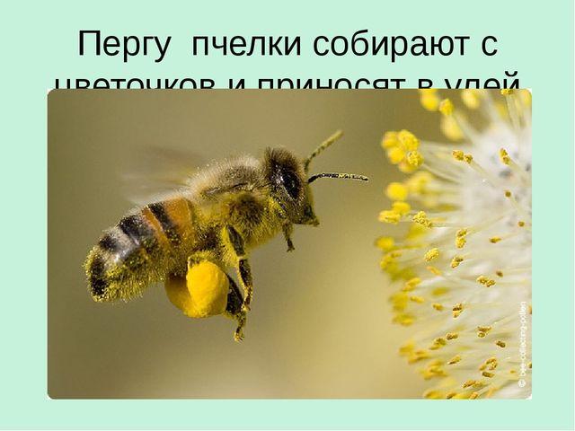 Пергу пчелки собирают с цветочков и приносят в улей на своих ножках