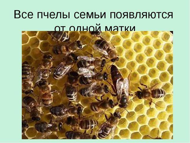 Все пчелы семьи появляются от одной матки