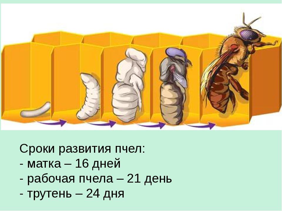 Сроки развития пчел: - матка – 16 дней - рабочая пчела – 21 день - трутень –...