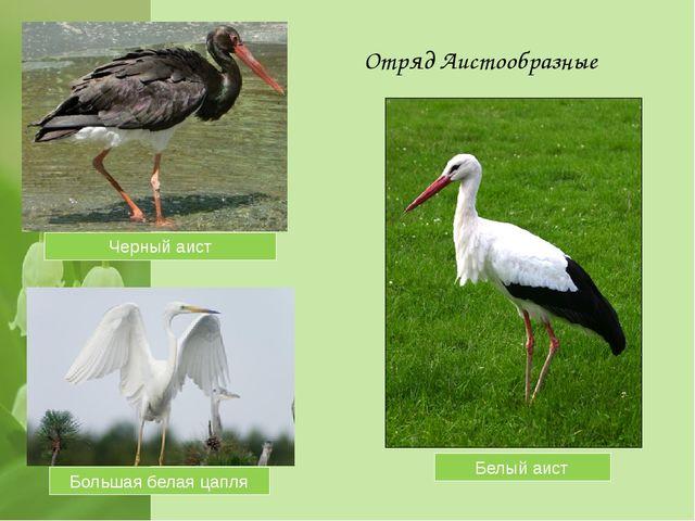 Отряд Аистообразные Черный аист Белый аист Большая белая цапля