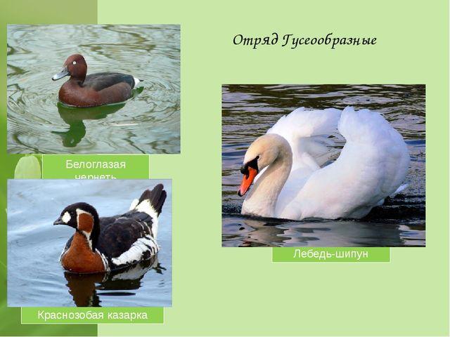 Отряд Гусеообразные Лебедь-шипун Белоглазая чернеть Краснозобая казарка