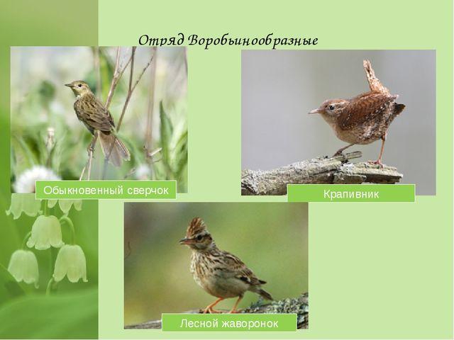Отряд Воробьинообразные Обыкновенный сверчок Крапивник Лесной жаворонок