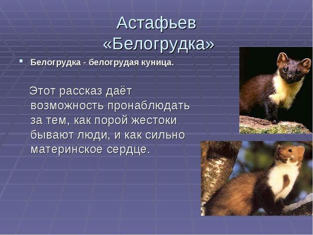 Астафьев «Белогрудка» Белогрудка - белогрудая куница. Этот рассказ даёт возмо...