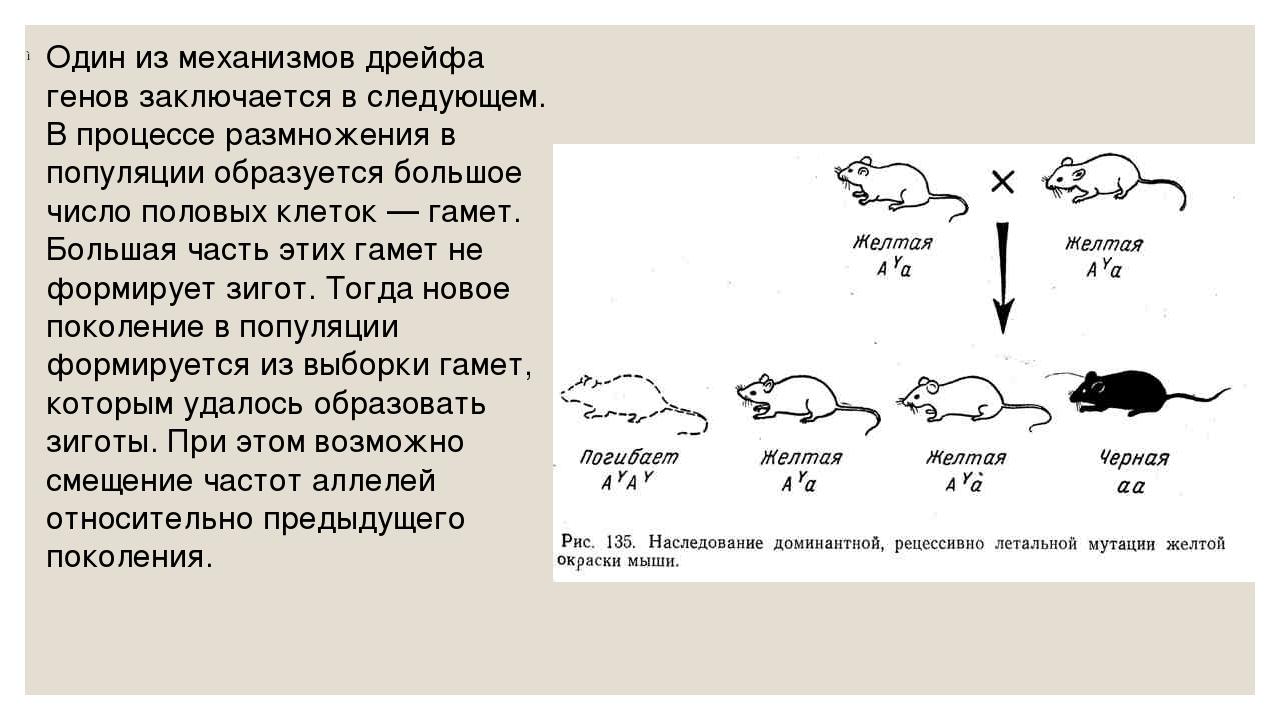 Один из механизмов дрейфа генов заключается в следующем. В процессе размножен...
