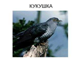 КУКУШКА Cuculus canorus — Кукушка обыкновенная Отряд Кукушкообразные (Cuculif