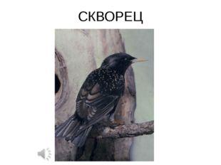 СКВОРЕЦ Sturnus sp. — Скворец Отряд Воробьинообразные (Passeriformes): Семейс