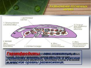 РАЗМНОЖЕНИЕ РЕСНИЧНЫХ ЧЕРВЕЙ Половая система у животных впервые возникает у р