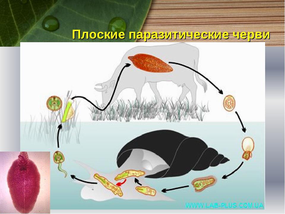 Плоские паразитические черви Плоские паразитические черви имеют упрощенное ст...