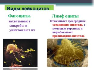 Виды лейкоцитов Фагоциты. захватывают микробы и уничтожают их Лимфоциты Отыс