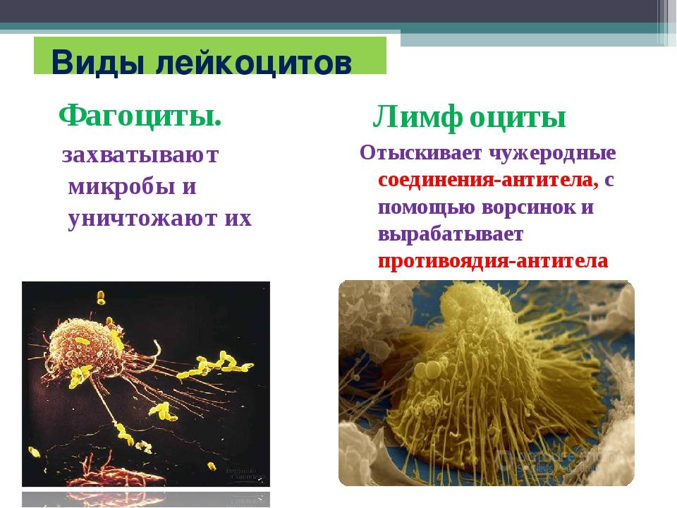 Виды лейкоцитов Фагоциты. захватывают микробы и уничтожают их Лимфоциты Отыс...