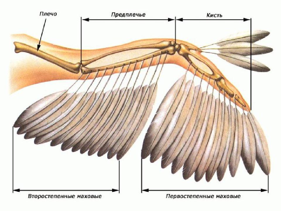 этой статье строения крыла птицы фото групп людей