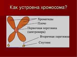 Как устроена хромосома?