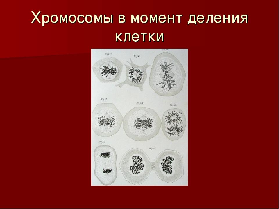 Хромосомы в момент деления клетки
