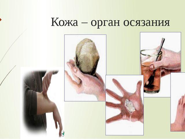 Кожа – орган осязания