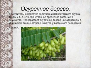 Огуречное дерево. действительно является родственником настоящего огурца, тык
