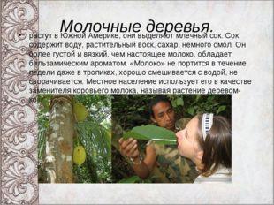 Молочные деревья. растут в Южной Америке, они выделяют млечный сок. Сок содер