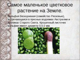 Самое маленькое цветковое растение на Земле. Вольфия бескорневая (семейство Р