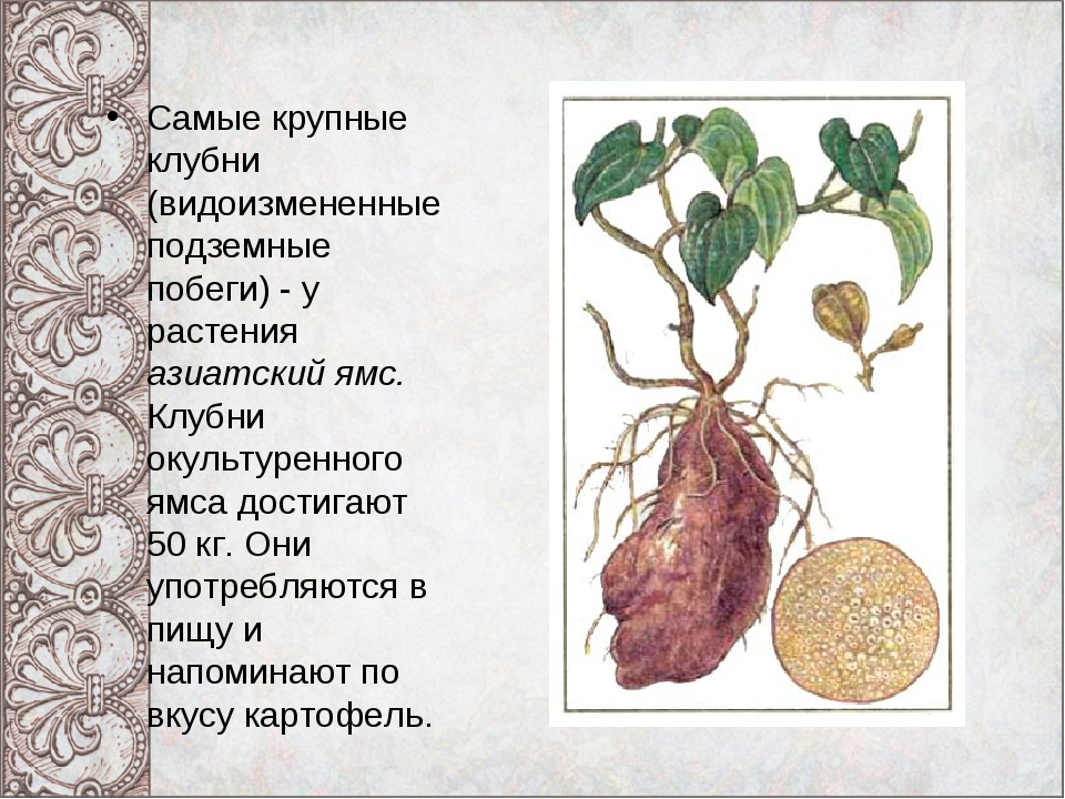 Самые крупные клубни (видоизмененные подземные побеги) - у растения азиатский...