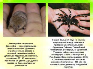 Землеройка карликовая белозубка - самое маленькое млекопитающее. Длина ее стр