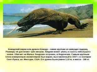Комодский варан или дракон Комодо - самая крупная из живущих ящериц. Размеры